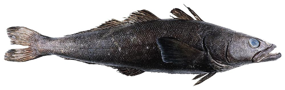 The Patagonian Toothfish